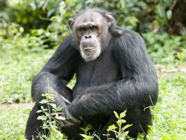 Дружелюбные шимпанзе живут дольше – Ученые