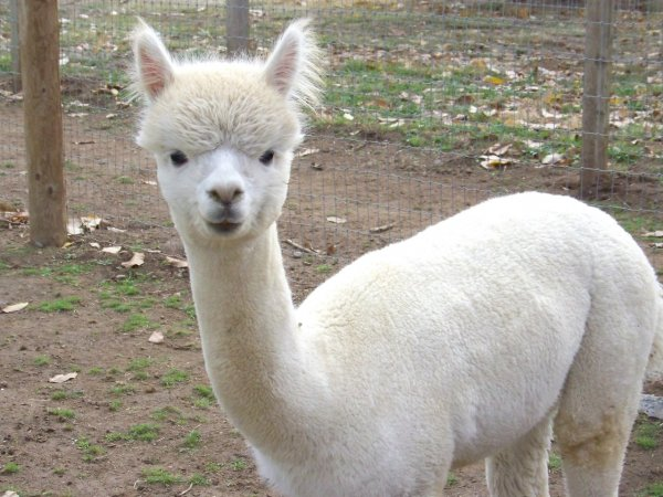 В Московском зоопарке альпака привела потомство