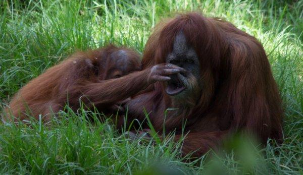 Орангутаны способны изобретать крючки
