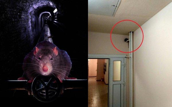 В новостройке Воронежа сфотографировали огромную крысу