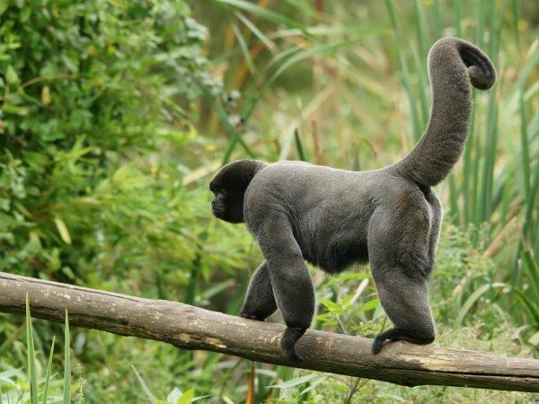 Учёные обучают обезьян быть дикими, чтобы спасти их популяцию