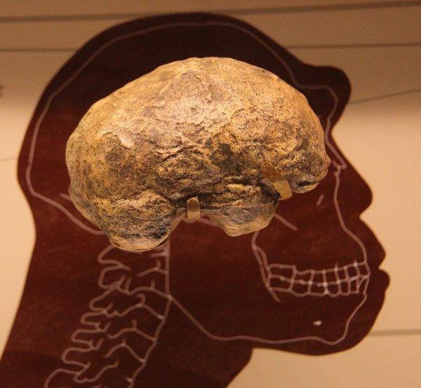 Ученые обнаружили схожесть мозга древних людей с мозгом современного человека