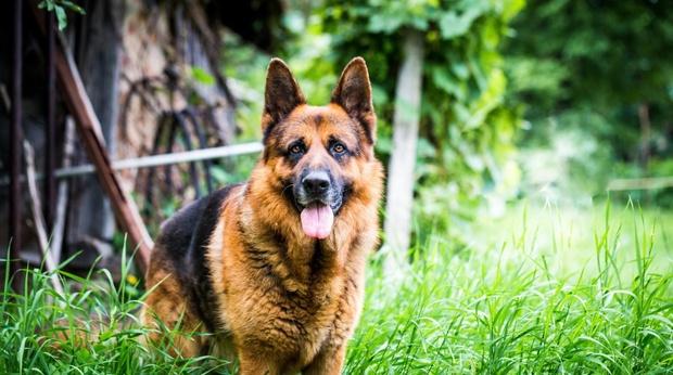Тонкости дрессировки сторожевых собак