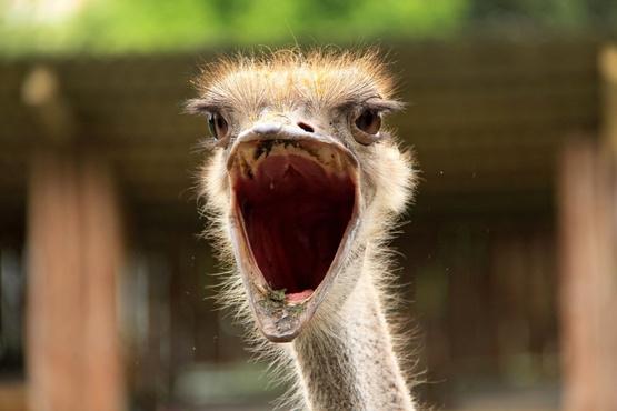 На тюменской страусиной ферме началась австралийская весна
