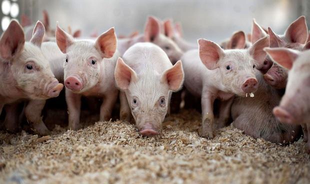 На частных подворьях Тюменского района посчитали свиней