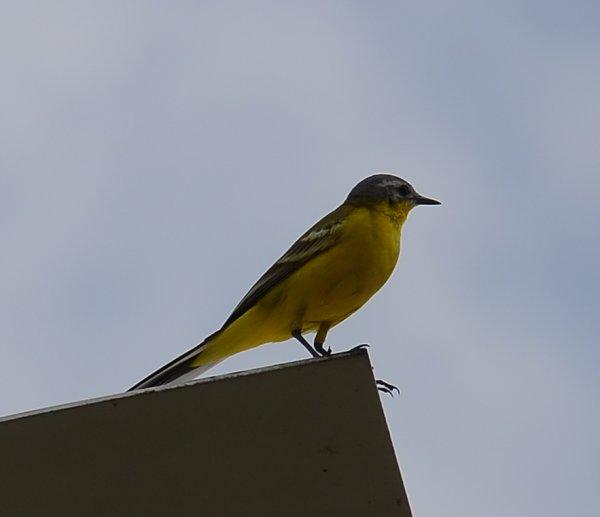 Вокальные данные птиц зависят от их оперения - чем ярче перья, тем хуже пение