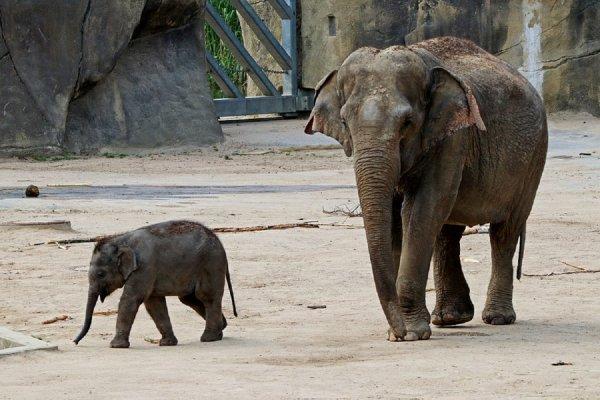 В Ростове на Крещение отметят двухлетие слонихи Эколь