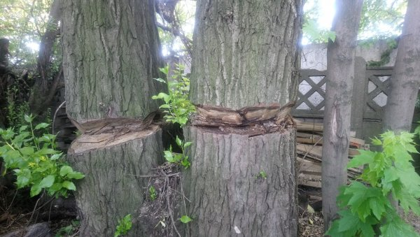 Пора пилить: Жители Петербурга боятся падающих деревьев